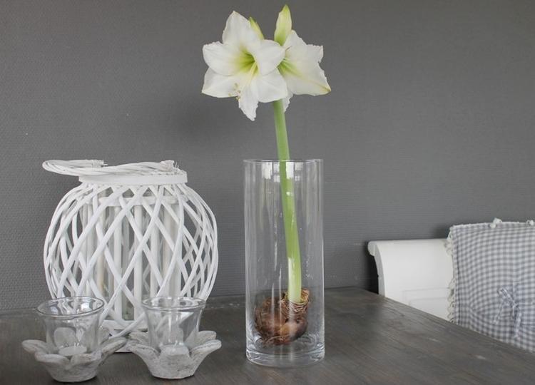 Eenvoudig maar mooi: amaryllisbol in glazen vaas. Foto geplaatst ...