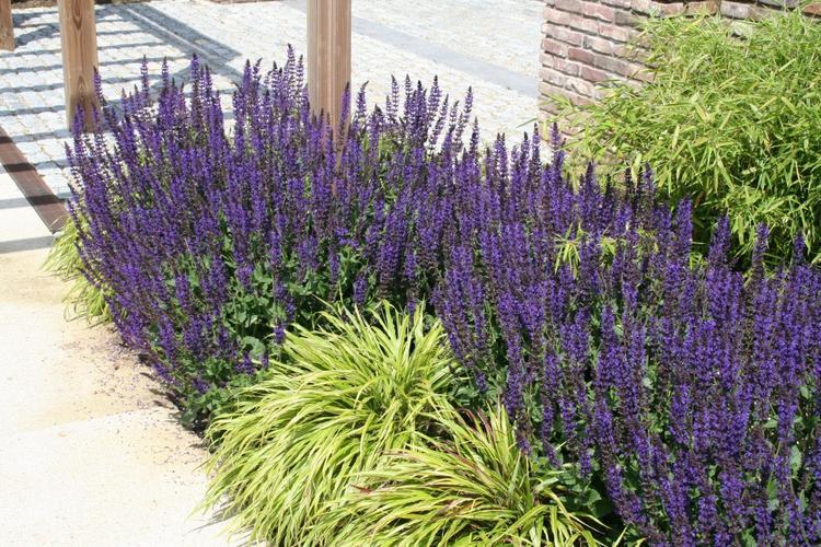 Vaste Planten Tuin : 8. salvia nemorosa tuinsalie plantgroep vaste planten meer