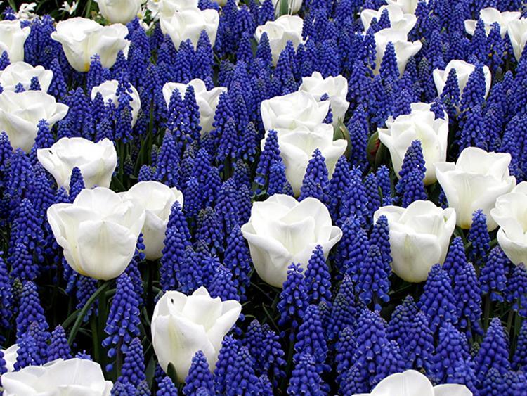 Top Mooie bloemen, blauwe druifjes met daartussen witte tulpen  #KP24