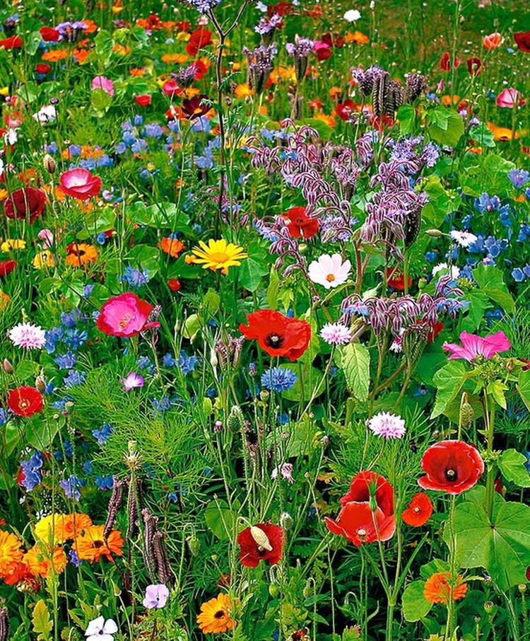Voorkeur Wilde bloemen, een paar zakjes wilde bloemen zaaien geeft dit  @QL35