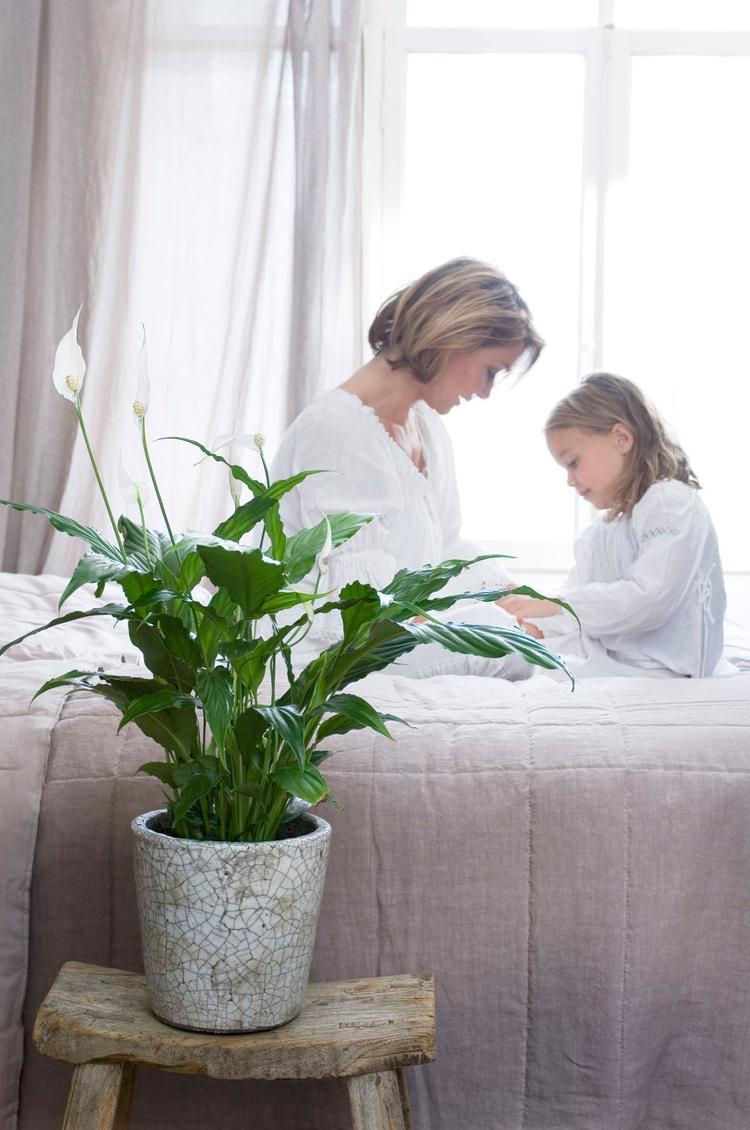 Luchtzuiverende plant in de slaapkamer. De Spathiphyllum is ook wel ...